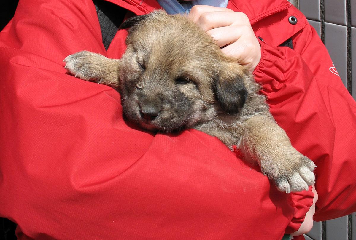 Собаки Тибета